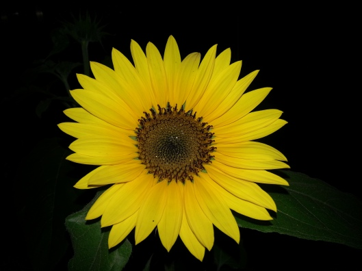 Sunflower in the Night (Photo by Susanne Schuberth)