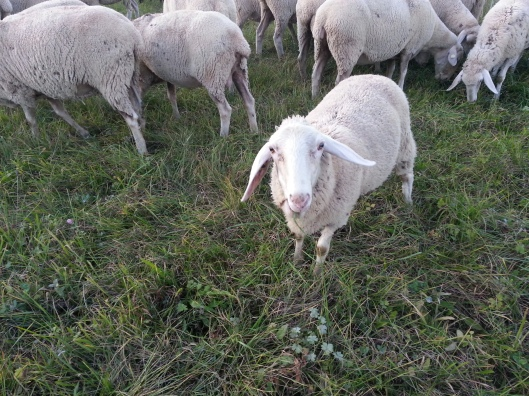 My Sheep Hear My Voice (Photo by Susanne Schuberth)